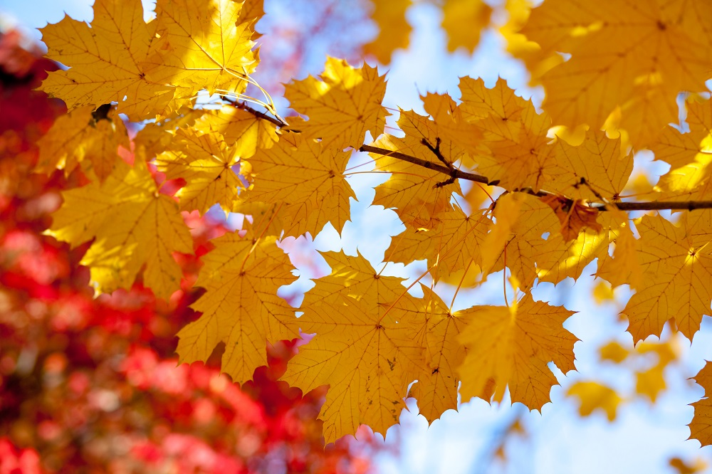 Maple Leaves, yellow leaves, fall, image