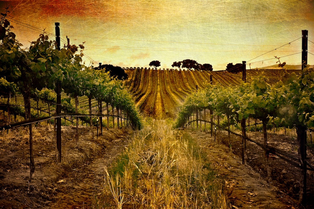 sunset vineyard picture