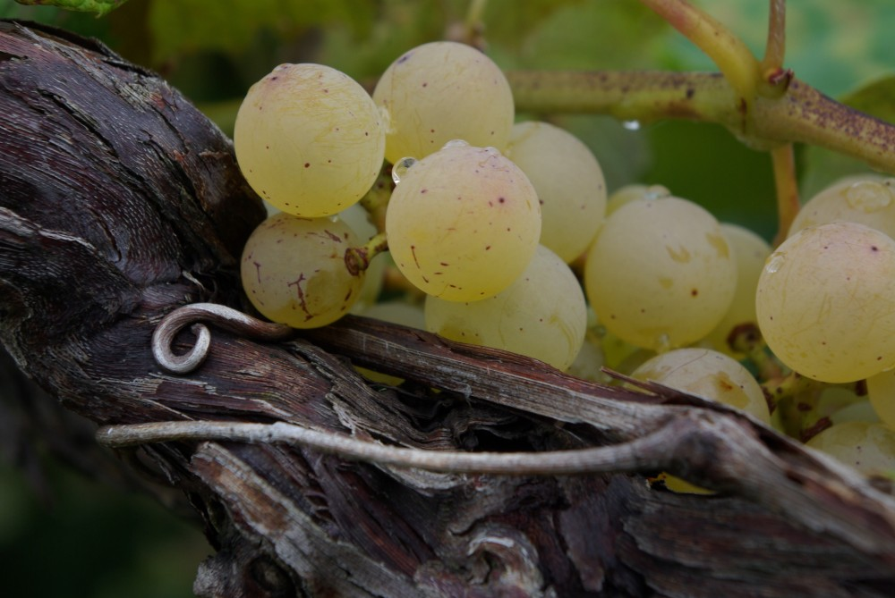 white grapes growing on grapevine, Original Photo (c) Ben Gatrelle