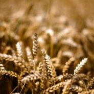 Grace and Judgment in The Parable of the Wheat and the Tares